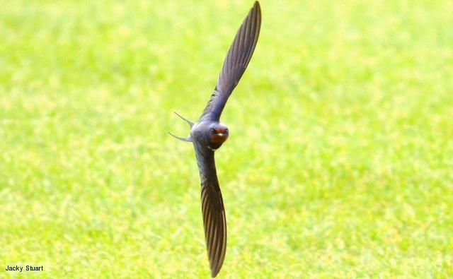 Barn Swallows (Hirundo rustica) are migratory and flock in large numbers in September ready to fly to Africa, south of the Sahara. In early April, they return to the UK often roosting communally in reed beds outside of the breeding season.