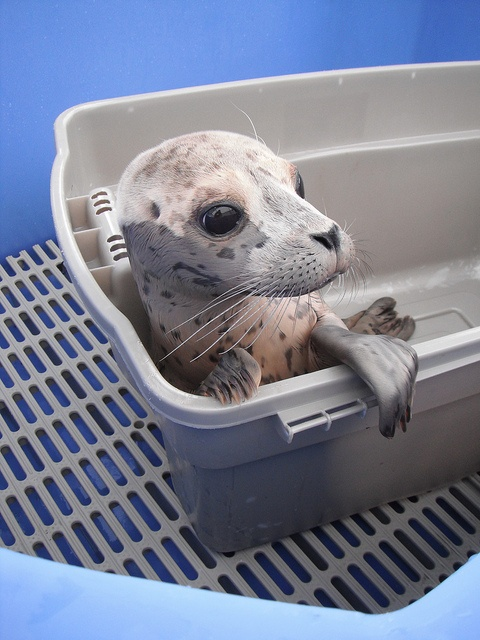 Pacific Harbor Seal pup at Marine Mammal Rescue, where orphaned and injured marine mammals are rehabbed and released.