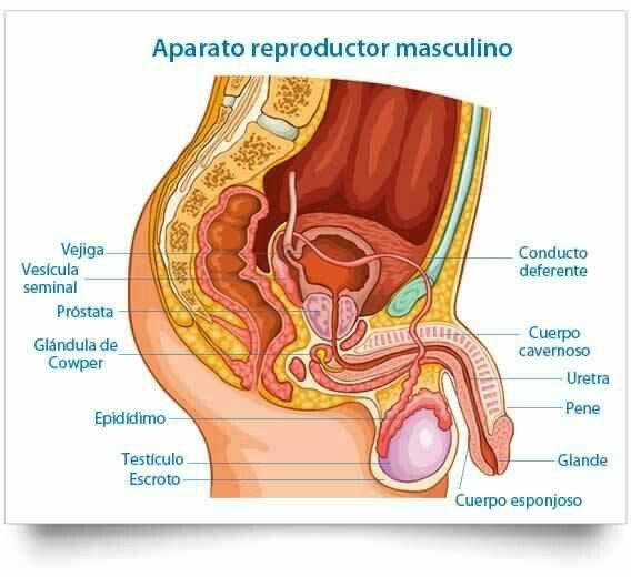 Elaparato reproductor masculinoes, junto con elfemenino, el encargado de lareproducción, es decir, de la formación de nuevos individuos. Los principales órganos externos son lostestículos, elepididimo, elpeney el escroto, el saco que envuelve los testículos. Los conductos deferentes y las glándulas accesorias son órganos internos.