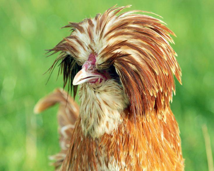 19 best images about poule padoue on pinterest animaux large and crests - Ferme de beaumont poule ...
