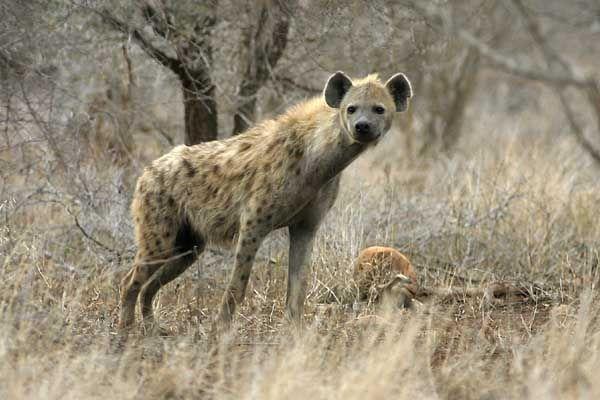The strange Striped hyenas have broad heads with dark eyes.