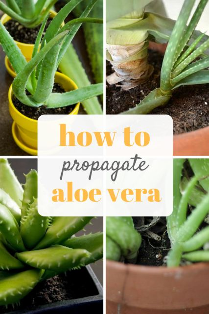 Propagating Aloe Vera is easy with this guide! Soon you'll have the best indoor garden!