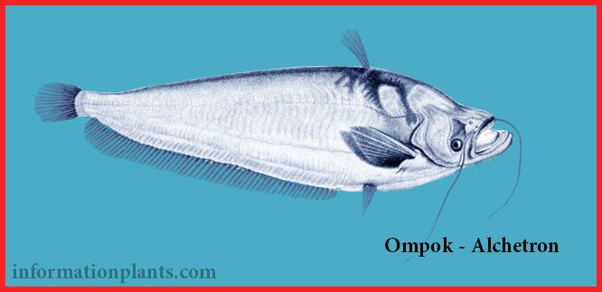 امبوك سيلاني Ompok Ceylonensis قسم انواع الاسماك انواع الاسماك انواع الاسماك مع الصور الموقع الزراعي ومنوعات اخرى Fish Fish Pet Pets