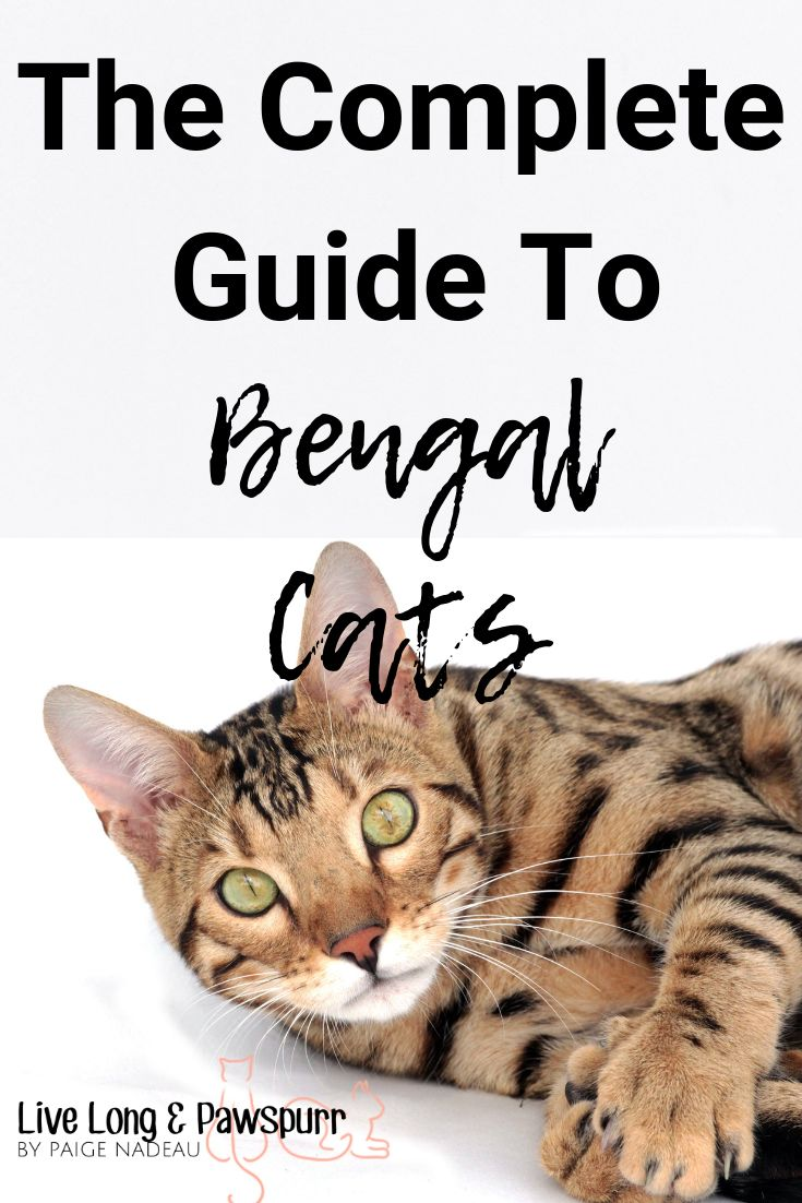Everything you need to know about Bengal Cats Sick cat