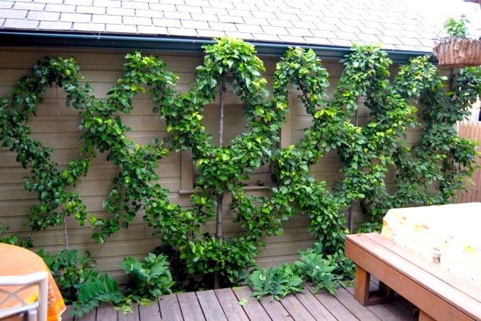 fruitier en croisillon sur terrasse pour embellir le mur un espalier ou palmette dans votre. Black Bedroom Furniture Sets. Home Design Ideas