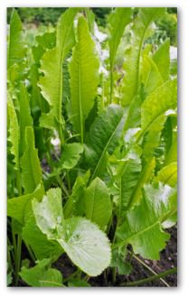 Growing your own horseradish plants is quite simple to do! It grows like a weed, and is easy to harvest.