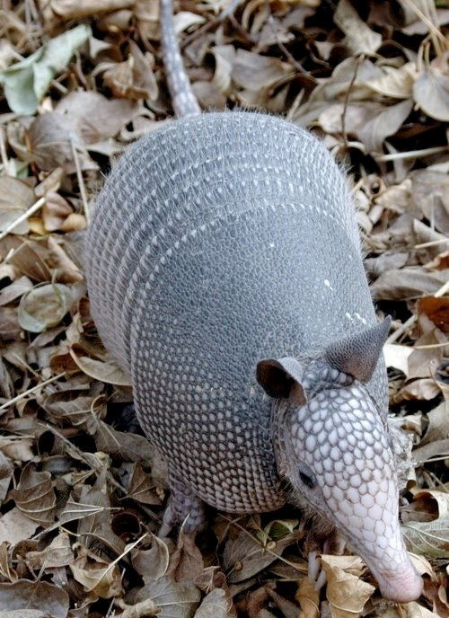 Found my grandmother's armadillo basket and I'm going to take it to school...the kids will love it! Did You Know? - Armadillos are the only animal, besides humans, that can get leprosy.
