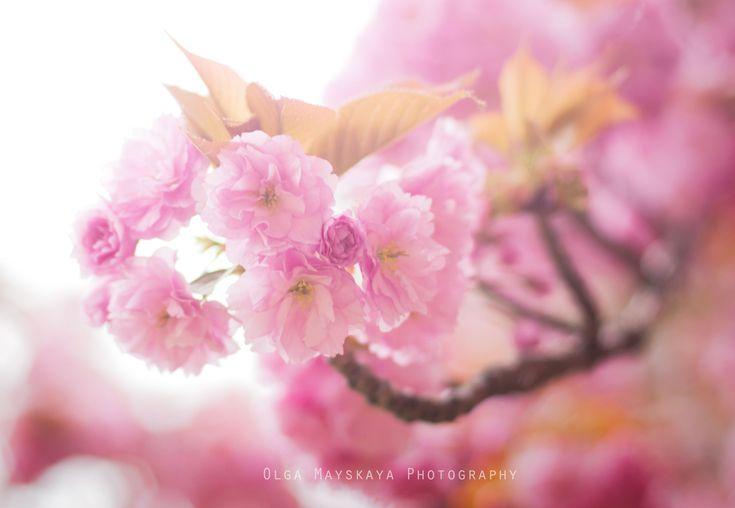 Розовые деревья в Париже. Pink trees in Paris