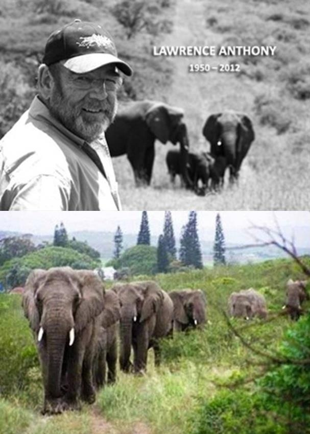 "Lawrence Anthony, a legend in South Africa and author of 3 books including the bestseller, ""The Elephant Whisperer"", bravely rescued wildlife and rehabilitated elephants all over the globe from human atrocities, including the courageous rescue of Baghdad Zoo animals during US invasion in 2003.    Two days after his passing, the wild elephants showed up at his home led by two large matriarchs. A total of 31 elephants had patiently walked over 12 miles to get to his South African house."