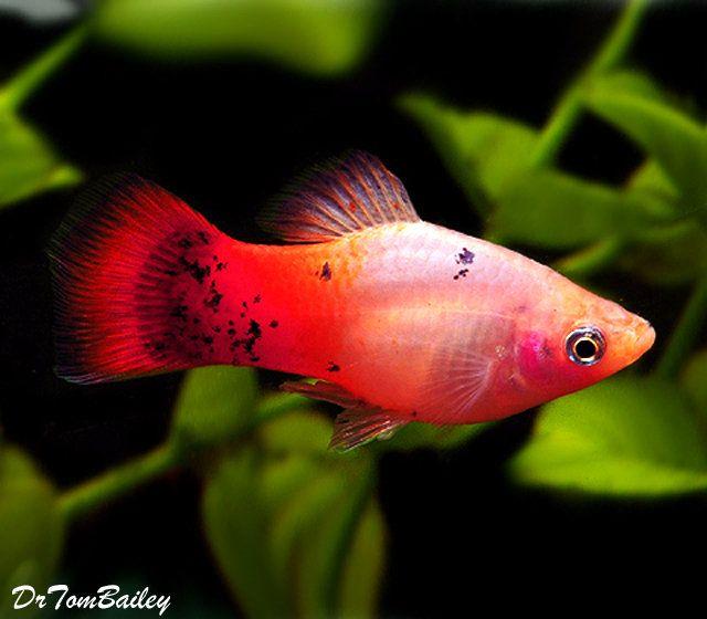 Premium Rare Tri Colored Platy Aquarium Fish Pet Fish Platy Fish