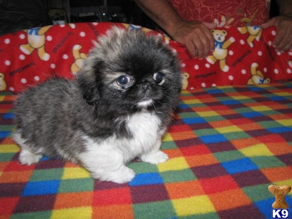 Griffonese - CKC Registered - Female - Pekingese Puppies for Sale