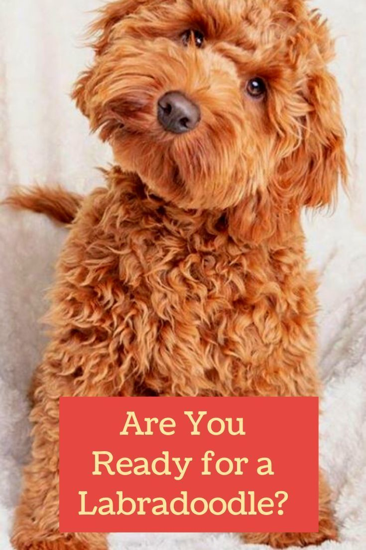 Pin On Labradoodle Facts Info