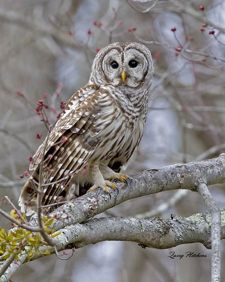 Barred Owl at Vienna Photo by Larry Hitchens -- National Geographic Your Shot