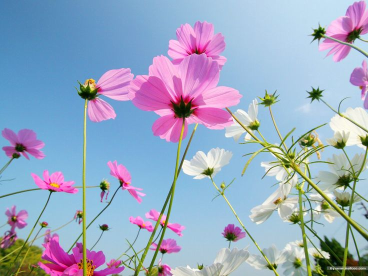 Autumn Flowers: Cosmos Flowers