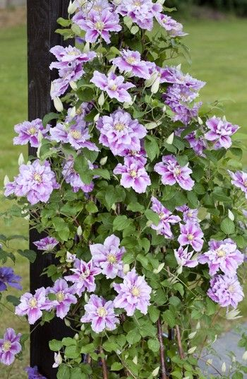 1000 images about clematis on pinterest clematis. Black Bedroom Furniture Sets. Home Design Ideas