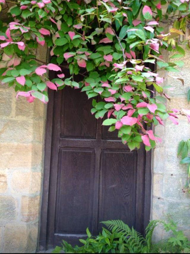 Actinidia Chinensis my favourite climbing plant.