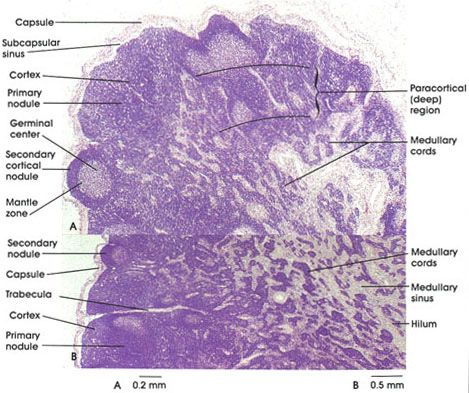 Ch20 Histology Of The Lymph Node Lymphatic Immune System