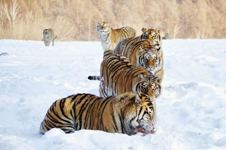 26 Spectacular Pictures Of Siberian Tigers In Their Natural Habitat (shared via SlingPic)
