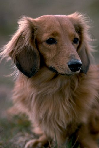 This is my doxie's twin! Beautiful!
