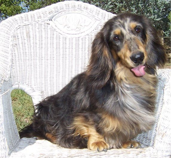 dachshund_beckhaus: Dachshund Dogs, Dachshund Puppies, Pretty Dachshund, Dachshund Beckhaus, Breeder Dachshund