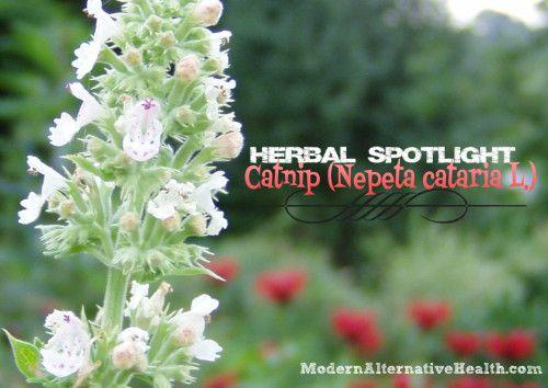Herbal Spotlight: Catnip   Modern Alternative Health
