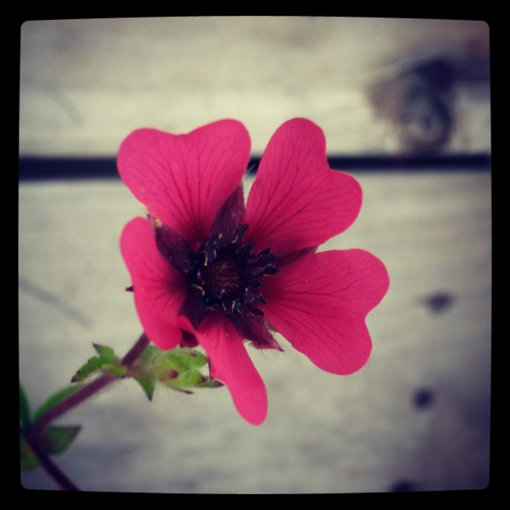 """""""Miss Wilmott"""" Cinquefoil (Potentilla nepalensis), a tough little character with regular plum red blossoms  for full sun to light shade. Frost Hardy."""