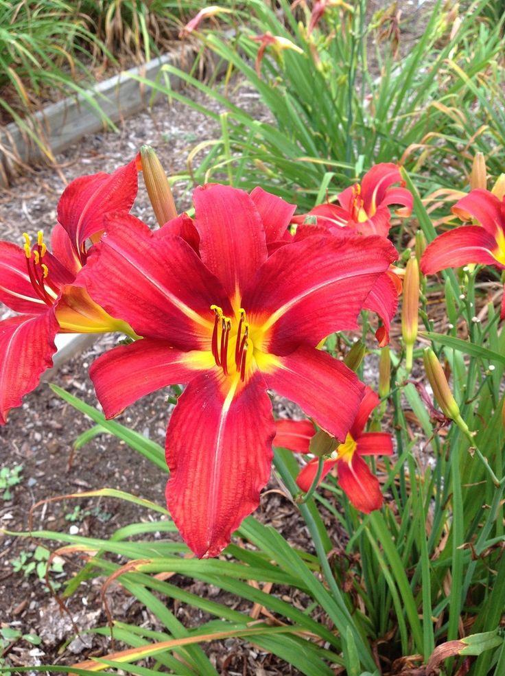 Daylily (Hemerocallis 'Bengal Fire') in the Daylilies ...