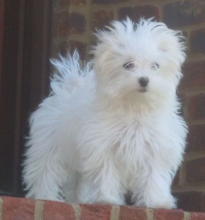 i want another maltese!!!