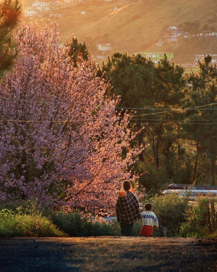 Cherry Blossom Season, Shillong
