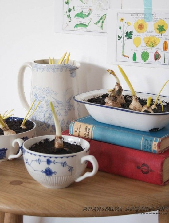 How to grow bulbs indoors by www.apartmentapothecary.com