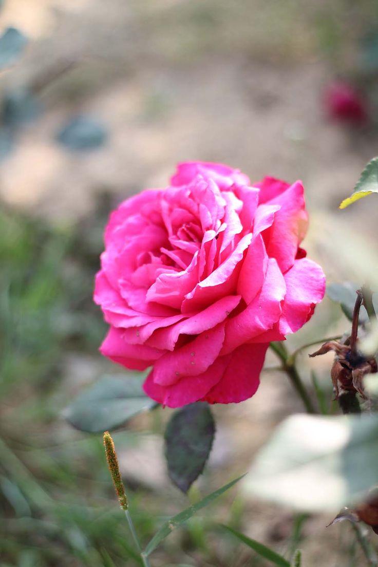 Rose Tinted Illustration: ROSE STUDY
