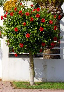 Red Rose of Sharon Hibiscus Tree - really want one of these but i don't think it would do well in iowa.