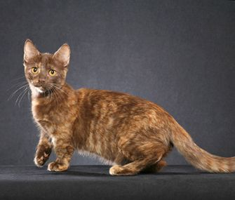 Vetstreet's Dr. Patty Khuly discusses why short-legged cats like the Munchkin aren't so cute from a medical standpoint.