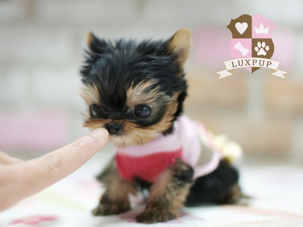 """Please do your homework before buying a tiny dog.  I do not """"promote"""" any particular breeder or website based off of what I pin (unless stated).  If you love small dogs like I do here are a few sites to educate yourself.  Be aware that tiny dogs are a big responsibility and need extra attention.  Here's a site where you can find small dogs to rescue in your area by typing in your zip code.  There's also one to learn about each breed of small…"""