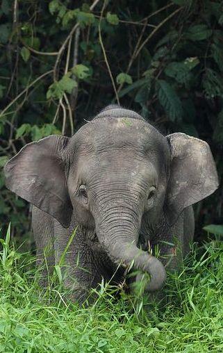 Bébé éléphant aime l'herbe sans herbicides. - Baby elephant like the grass without herbicides. - Bebé elefante como la hierba sin herbicidas. -vrais66.com