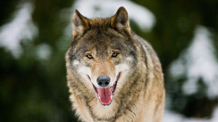 Acht Wölfe auf einem Waldweg: Ein junger Förster hat in Niedersachsen gleich ein…