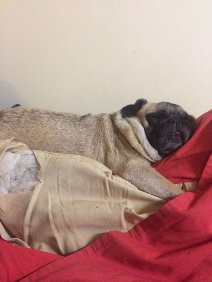 It's a hard life being a pug in the Sheehy household