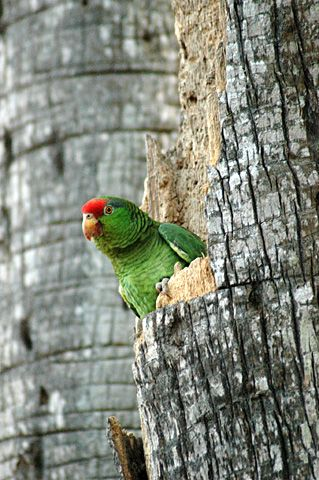 Red-crowned Parrot, Brownsville, Texas reminds me of home