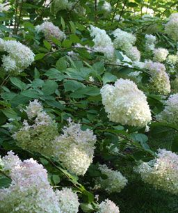 10 Drought-tolerant Shrubs | Fine Gardening - Hydrangea paniculata 'Limelight' Photo by