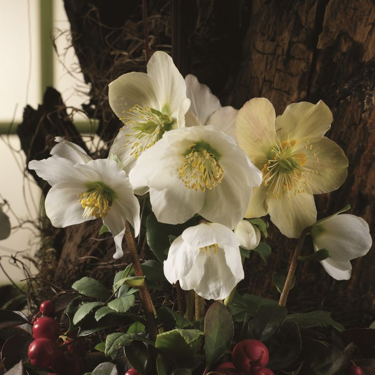 Helleborus - Winter Plant of the Month for January