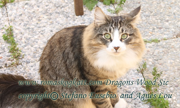 Dragons Wood Sic Norwegian forest cat