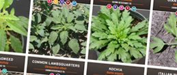 Weed identification can be tricky. The following guides take the guesswork out of weed identification. Eleven that Threaten Weed ID Guide University of Illinois Identifying Herbicide Resistant Weeds in Illinois Weeds of the North Central States Early Spring Weeds of No-Till Crop Production Weed ID Guide – University of Missouri Practical Weed Science for the Read More