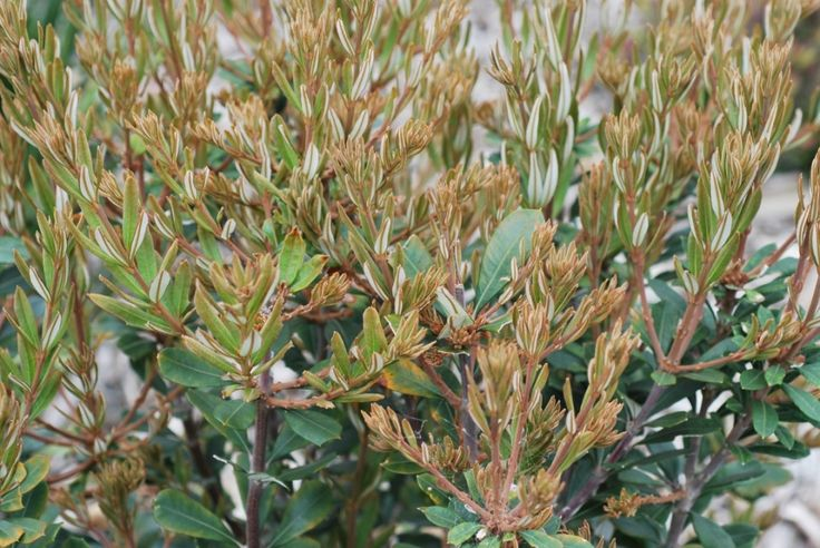 Banksia Sentinel --- For more Australian native plants visit austraflora.com