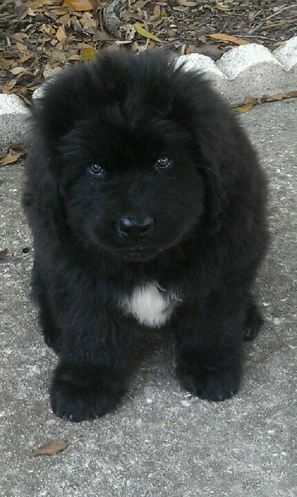 It's so Fluffy, I might really die! I want a newfoundland puppy so so bad! It's so cute
