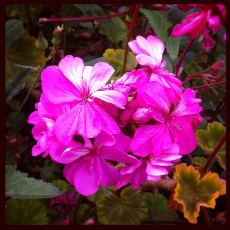 En nuestro #jardin #flores #cardenal #geranio