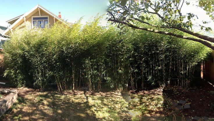 Cold Hardy Clumping Bamboo- 3 years, fully grown