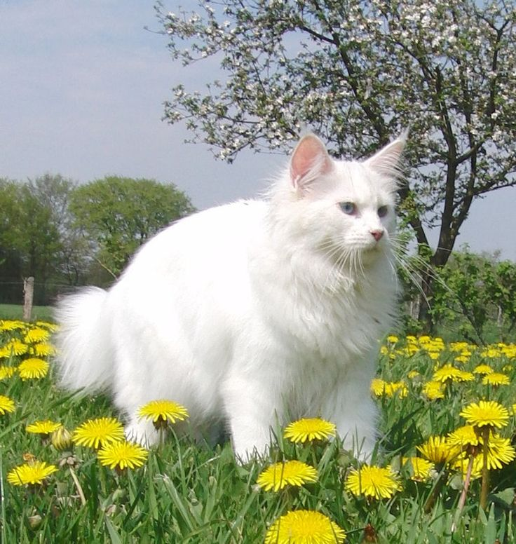 Maine Coon, White (w). Boonland's Bell Josephine PP, white Blue eyed and Polydactyl.