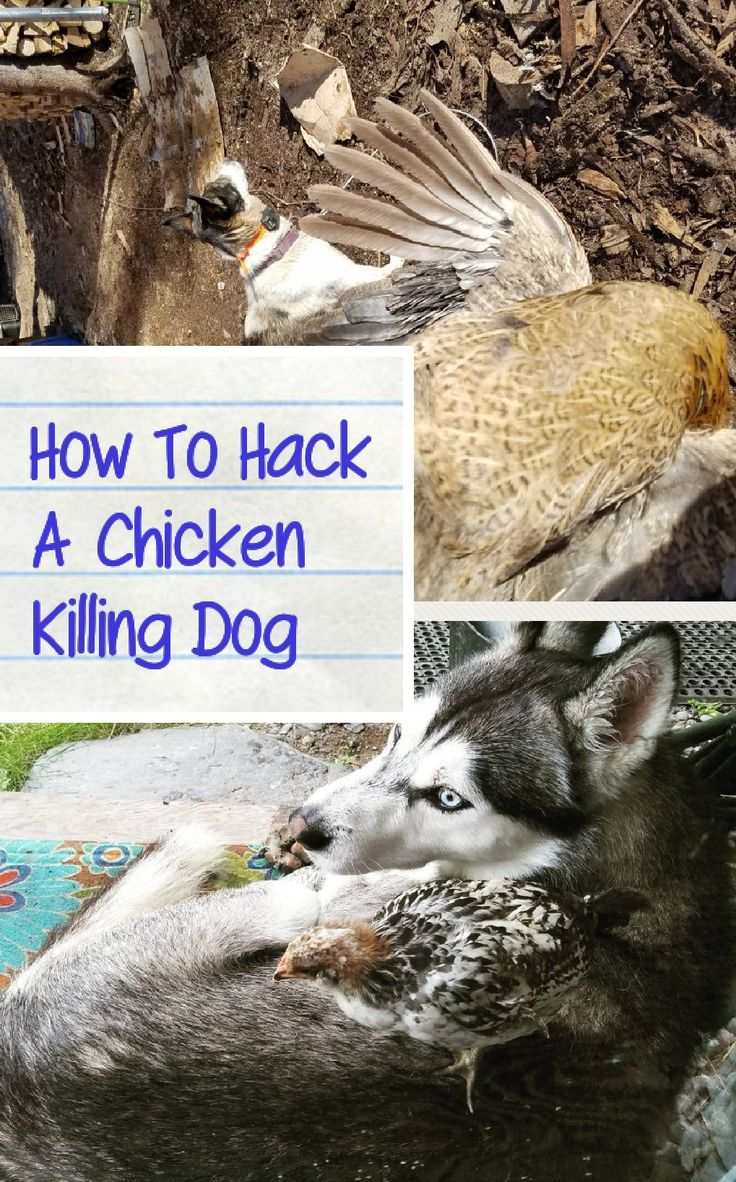 How To Get A Dog To Stop Killing Chickens
