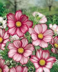 Cosmos Bipinnatus- October birth flower. The darkest flower is the one that was used to sketch my tattoo from.