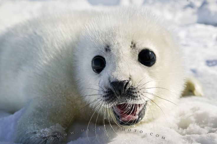 cute harp seal pups | Cute White Coat Harp Seal Baby Pup ...
